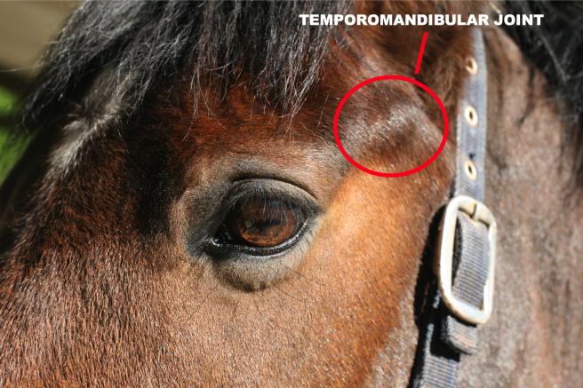 TEMPOROMANDIBULAR JOINT HORSES